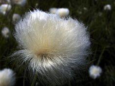 eriophorum Cut Flowers, Dandelion, Plants, Plant, Taraxacum Officinale, Dandelions, Planting, Planets