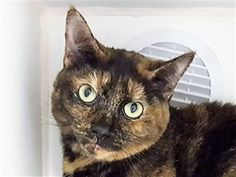 LIL DEBBIE - 14189 - - Manhattan  *** TO BE DESTROYED 11/27/17 *** LIL DEBBIE is a spayed girl who has some dental issues which will need follow up care.  This pretty tortie is hoping to find a home for the holiday where she can get all the TLC she needs! -  Click for info & Current Status: http://nyccats.urgentpodr.org/lil-debbie-14189/