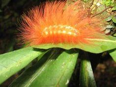 hairy orange caterpillar. found in the rainforest of bolivia.  simplegiftsfarm.com
