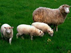 Dolly paseando junto a sus trillizos #Edinburgh #Edimburgo #Escocia #Scotland #animales #animals Más información / More info: http://edinatours.com/edinablog/la-oveja-dolly-el-primer-animal-clonado-de-la-historia/