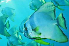 Schooling Spadefish (Batfish) off of Muko Jima Island, Japan. Ogasawara Islands - Brian Skerry