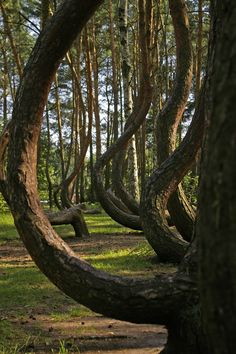 Just looks like a page out of a fantasy book! definitely want to go! The Crooked Forest, Poland