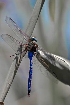 Blue Emporer Dragonfly - anax imperator Photo taken in Spain by Stephen Powell