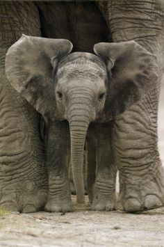 and baby animals Baby Animal Names Baby Elefant! Baby Elephant Pictures, Elephant Love, Elephant Art, Baby Elephants, African Elephant, Baby Elephant Drawing, Painted Elephants, Mother And Baby Elephant, Elephants Photos