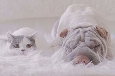 World's Most Photogenic Shar Pei And His Cat Are The Best Friends Ever