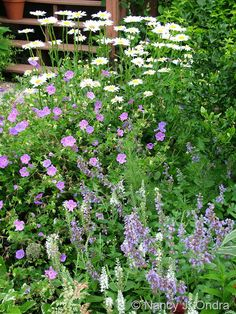 Geranium 'Jolly Bee' and Nepeta sibirica 'Souvenir d'Andre Chaudron', Veronica spicata 'Icicle', and Leucanthemum x superbum 'Becky' July 12 2006 Geranium Rozanne, Hardy Geranium, Happy Flowers, Love Flowers, Picket Fence Garden, Blue Garden, Zinnia Garden, Garden Soil, Garden Path
