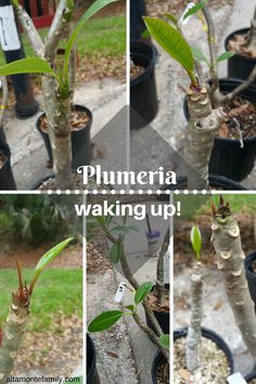 how to take care of plumeria cuttings