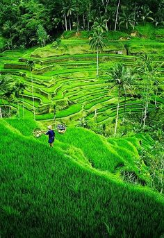 Ahh, I miss this way to much! Please take me back Rice terrace, near Ubud, Bali, Indonesia #Tegallalang