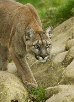 Stalking Cougar - Gorgeous !