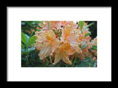 azalea, orange, macro, flower, nature, michiale schneider photography