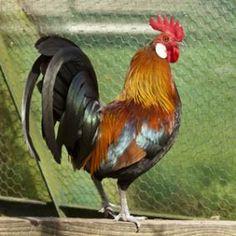 Coq, race de poule Gauloise - C. Hochet - Rustica