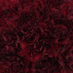 Burgundy Carnation Flowers