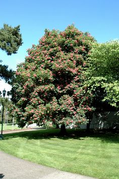 Click to view full-size photo of Briotti Red Horse Chestnut (Aesculus x carnea 'Briotti') at Bedner's Farm & Greenhouse
