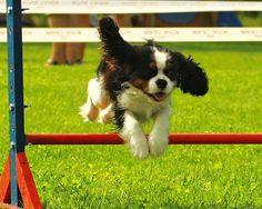 Cavaliers LOVE agility! <3