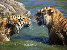 tiger | Amur tigers share their home with critically endangered Amur leopards ...