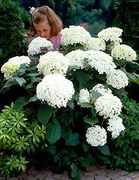 Hydrangea Shrub, Mounds of Snow Incrediball Hydrangea, Hydrangea Shrub, Red Hydrangea, Hydrangea Not Blooming, Hydrangeas, Flowering Shrubs, Trees And Shrubs, Landscaping Plants, Garden Plants