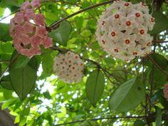 Como cuidar de uma flor de cera - 8 passos - umComo