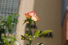 rosa anaranjada DFC.