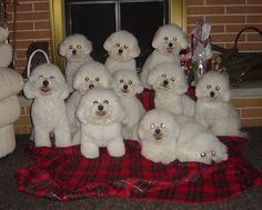 Bichon Heaven!  How sweet they all look....id love to have a group of them.
