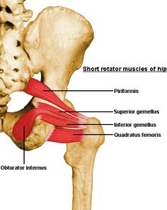 obturator internus - Google Search