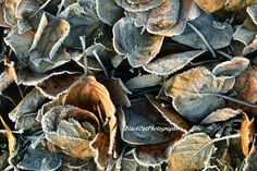 Nature Photography Winter Leaf Feminine Decor Wall Art for Her Blue Grey Orange Winter Photo Print Still Life Abstract Art Frost Home Decor by BlackCatPhotographs on Etsy