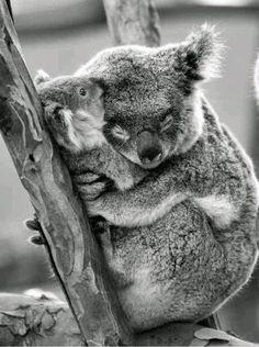 Koala Mama