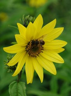 "Helianthus 'Lemon Queen' (Sunflower) - Perennial - Zones 4-9, Height 4-6 ft. A free-flowering plant to brighten up the mid and late summer garden. Covered in intense light yellow single 2-3"" flowers from July to September. An irresistible butterfly plant!"