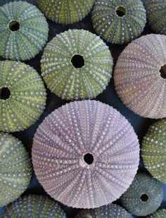 Sea urchin tests (no live animal inside anymore)