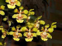 Grandiphyllum divaricatum