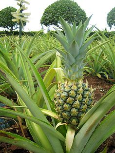 ananas comosus pineapple monde v g tal pinterest arbres fruitiers fruits exotiques et. Black Bedroom Furniture Sets. Home Design Ideas