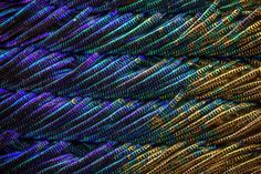 Peacock Feathers Are Even More Majestic Under a Microscope | Mental Floss