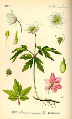 Illustration Anemone nemorosa0 - Buschwindröschen – Wikipedia