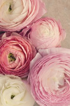 Floral Fine Art Photograph Pink Ranunculus by PrettyPetalStudio