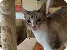 Siamese Cat for adoption in Flowery Branch, Georgia - Aria