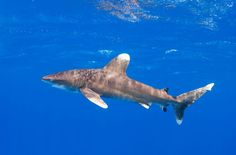 New research reveals alarming declines of 17%/yr for oceanic whitetip sharks. Are finning bans enough?