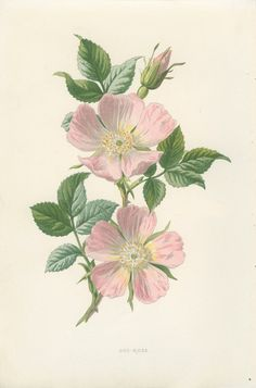 Antique inspirée botanique Wild Flower par MarcadeVintagePrints (dog rose)