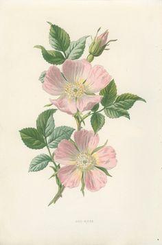 Antique inspirée botanique Wild Flower par MarcadeVintagePrints (dog rose)