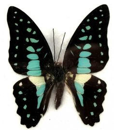 Common Jay Butterfly (Graphium Doson)