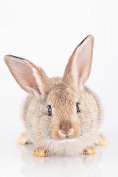 Portrait of a domestic rabbit