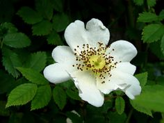 rosa arvensis, sometimes known as the field rose