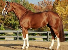 I don't know if geneticists know why, but chestnuts are more likely to express lots of chrome and white sabino traits than black-based horses. Cute Horses, Pretty Horses, Horse Love, Warmblood Horses, Thoroughbred Horse, Dutch Warmblood, Horse Photos, Horse Pictures, Horse Markings