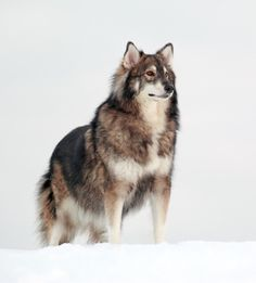 The Utonagan is a breed of dog that resembles a wolf, but in fact is a mix of three breeds of domestic dog: Alaskan Malamute, German Shepherd, and Siberian Husky. I WANT ONE  !