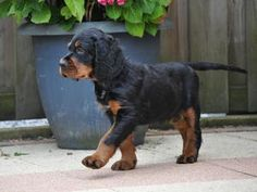 Gordon Setter puppy // Nice Guy From the Noble Friends | Kennel From the Noble Friends