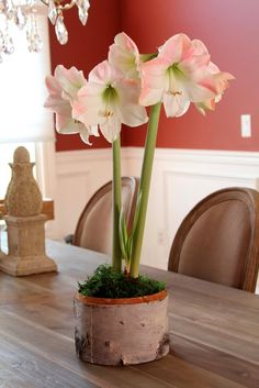 Amaryllis Gift Kits and Bulb Giveaway from Longfield Gardens