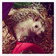 #hendrixthehedgehog #hedgehog Hedgehog, Hedgehogs, Pygmy Hedgehog