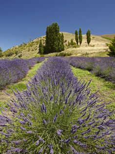 Lavender Farm, Near Cromwell, Central Otago, South Island, New Zealand
