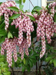 Pieris japonica  Japanische Lavendelheide, winterhart, für den Kübel geeignet (ca. 20,- EUR)
