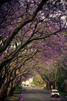 Jacaranda Trees - South Africa