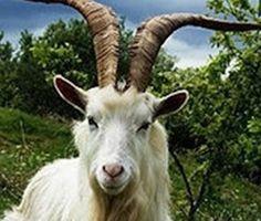 caprette palmaria enpa Goat Picture, Wallpaper Backgrounds, Wallpapers, Goats, Pictures, Photos, Wallpaper, Goat, Backgrounds