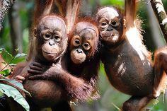 Palm Oil Kills Orangutans, but Can the Industry Help Save the Great Apes? | TakePart
